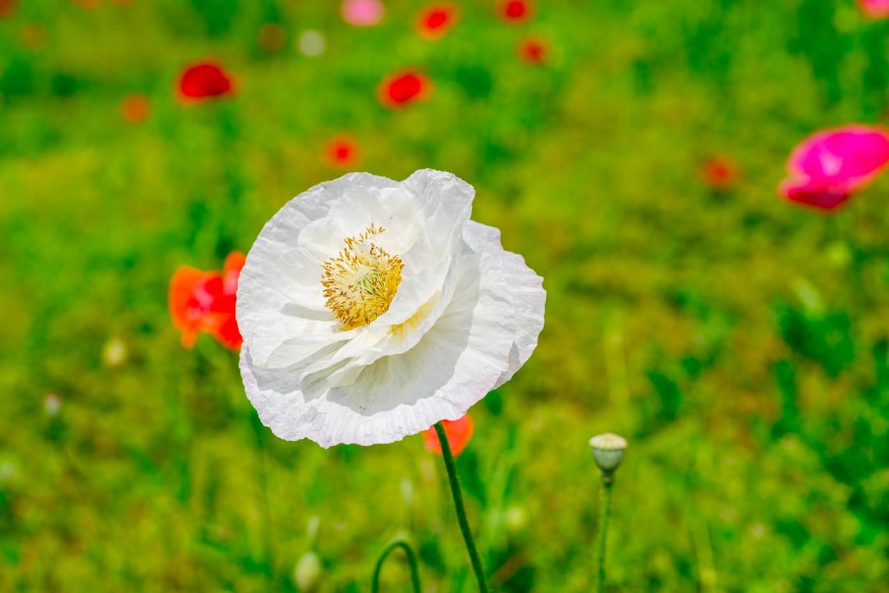 白いシャーレーポピーの花