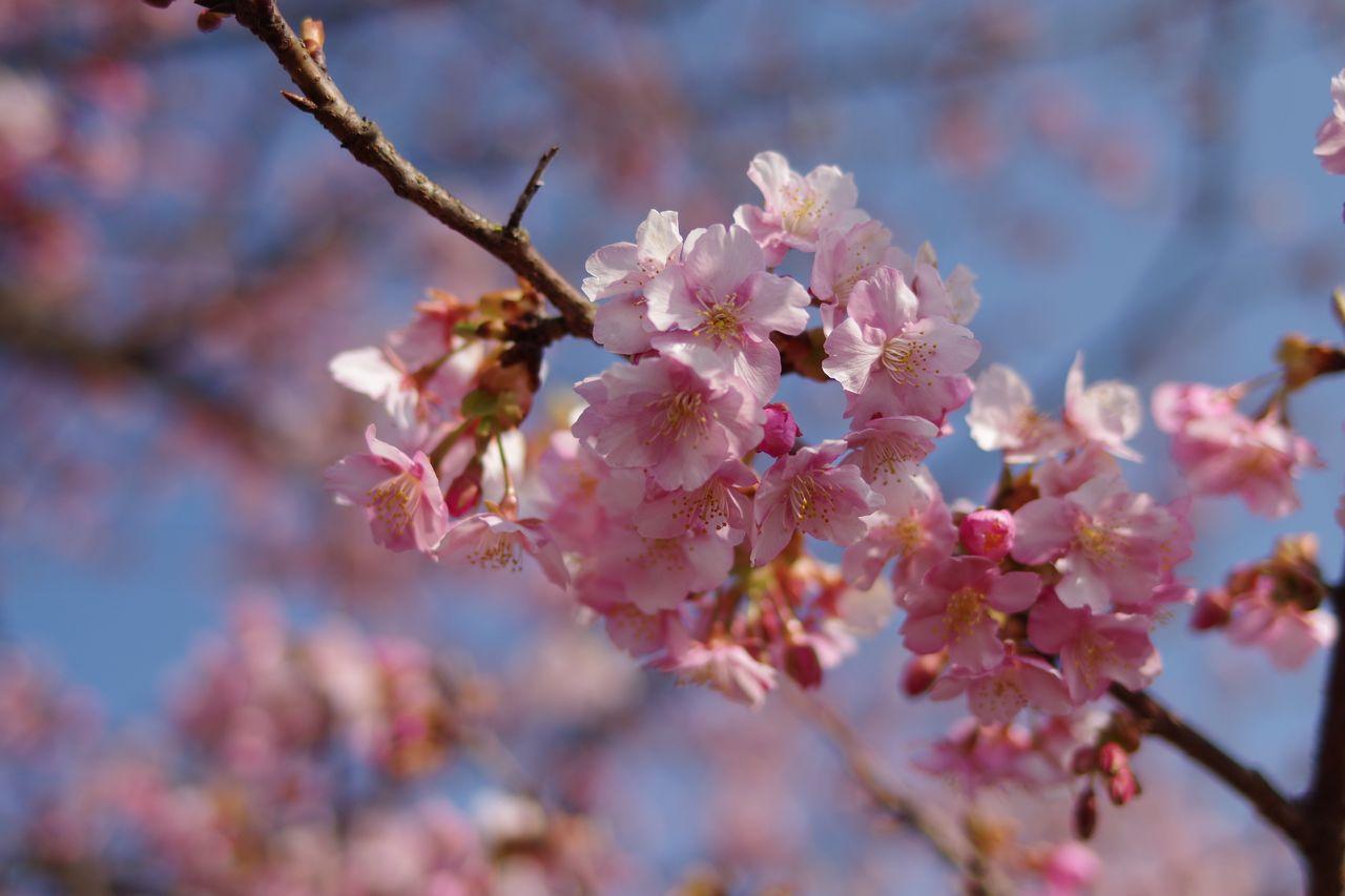 河津桜の花弁