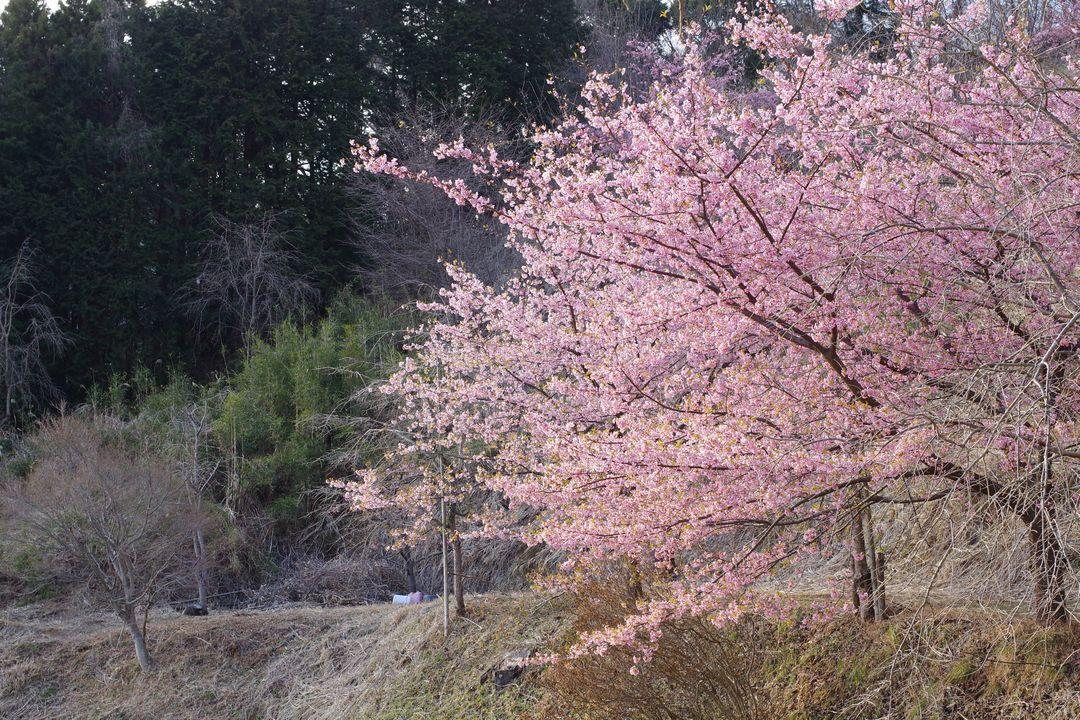 寄の河津桜
