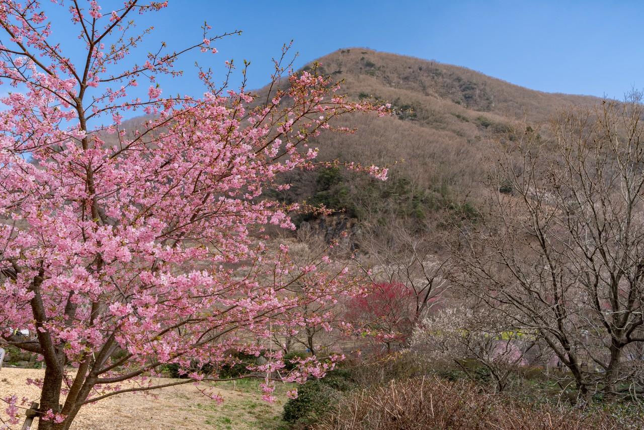 幕山公園の川津桜