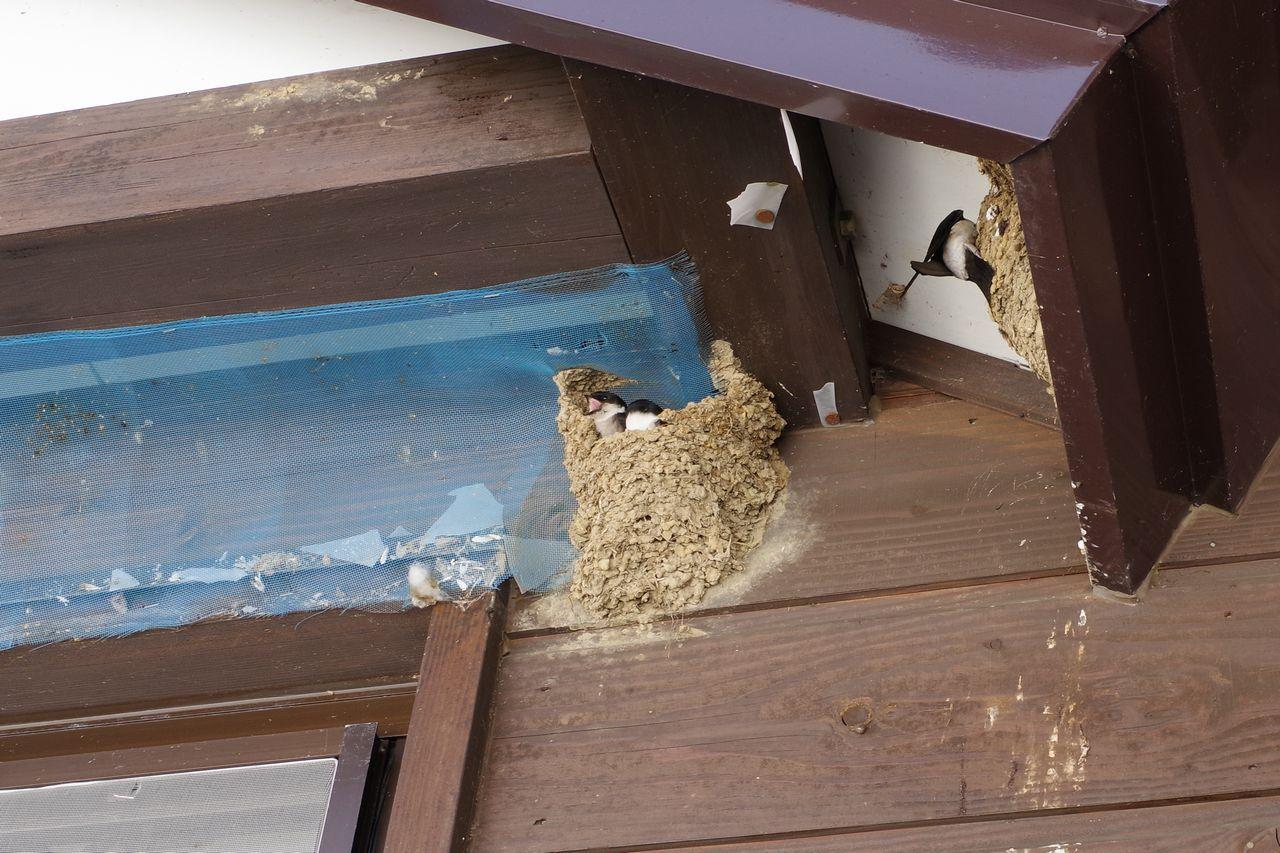 至仏山荘軒下の燕の巣