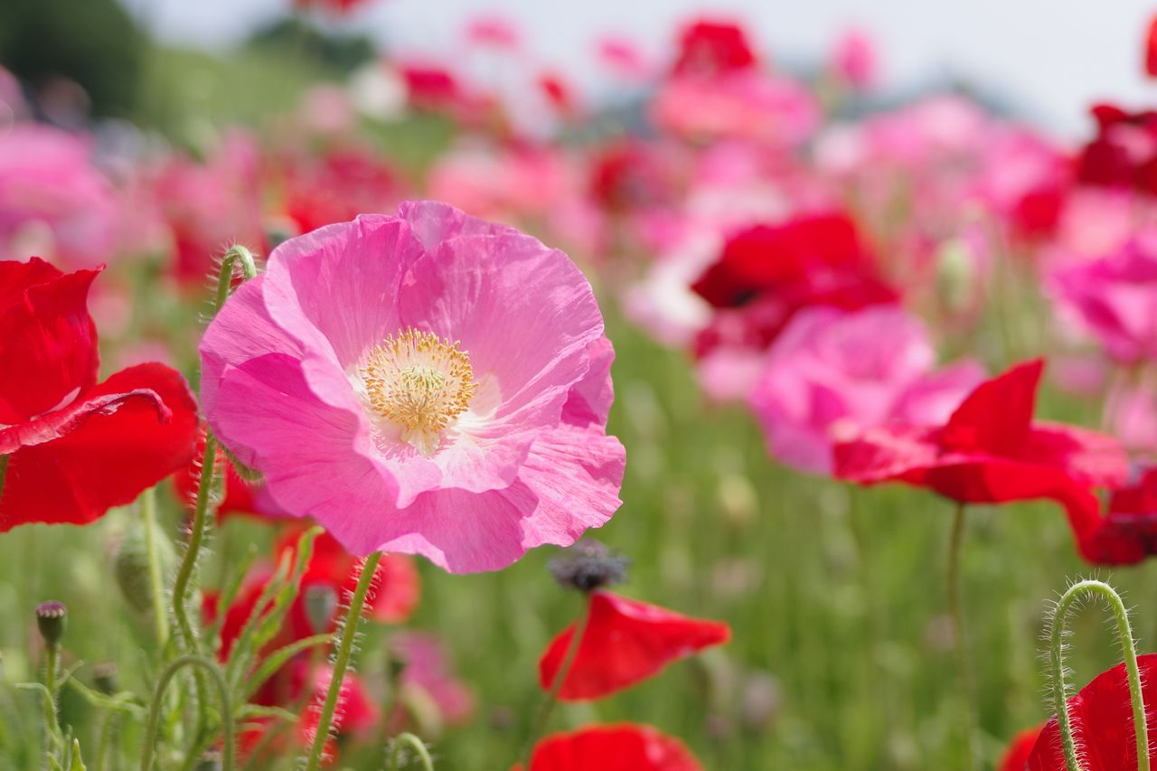 ピンクのシャーレーポピーの花
