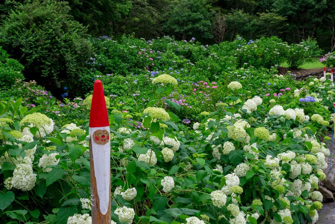 190630南沢あじさい山_024