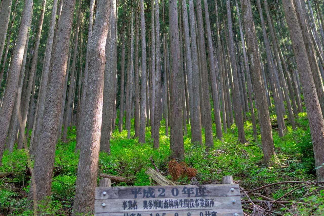 川乗谷林道の杉林