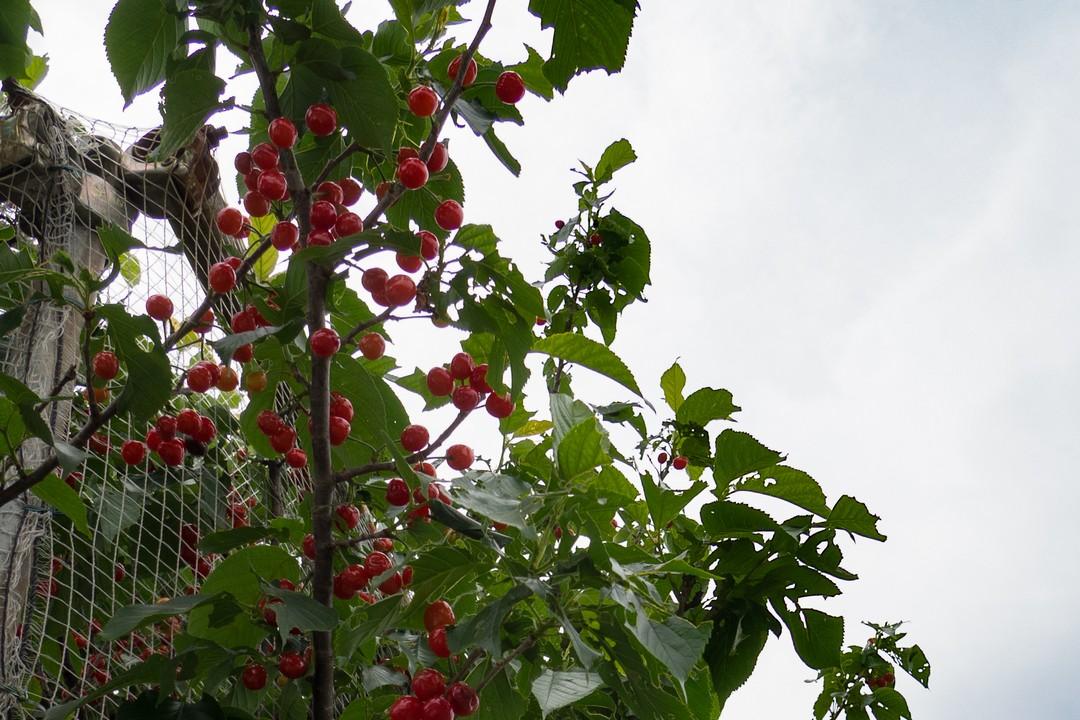 多摩よこやま道に植わったサクランボと思しき木