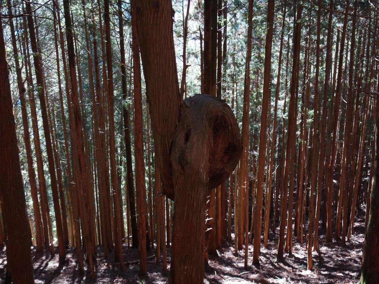 よこすず尾根の曲がった杉
