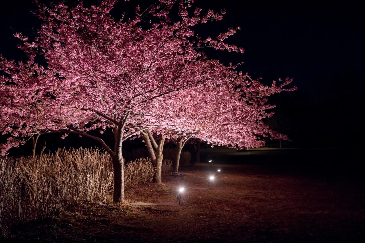 戸川公園 河津桜のライトアップ