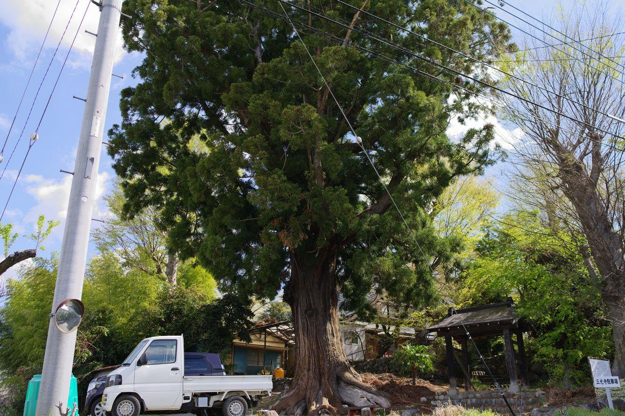 三宝寺の大杉