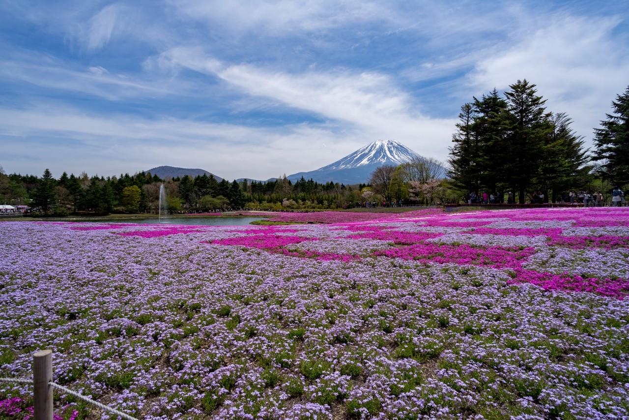 富士芝桜まつり会場から見た富士山