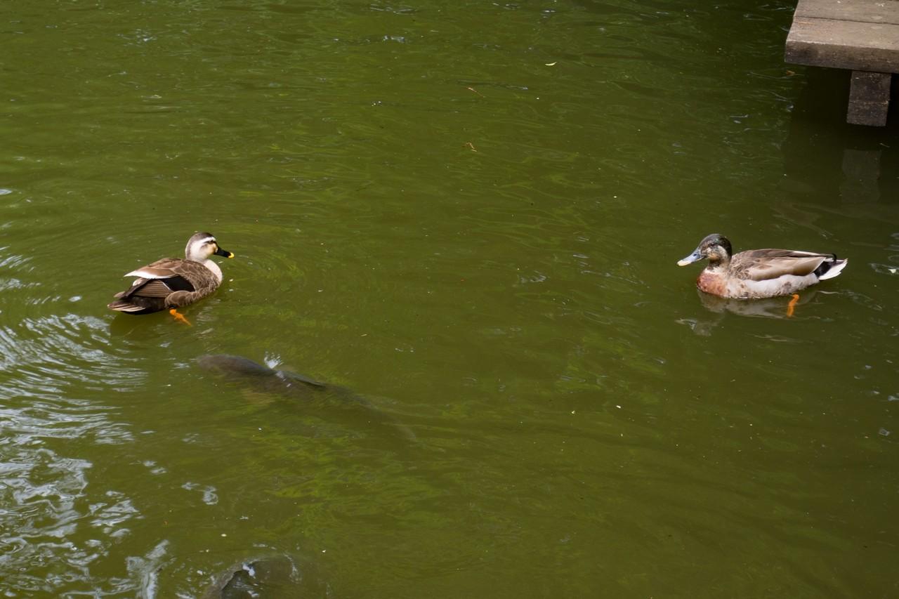 一本杉公園の池に住むカモ