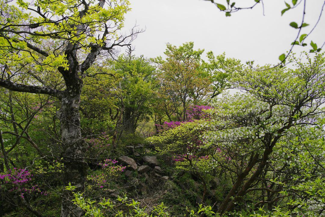 ツツジに囲まれた登山道の風景