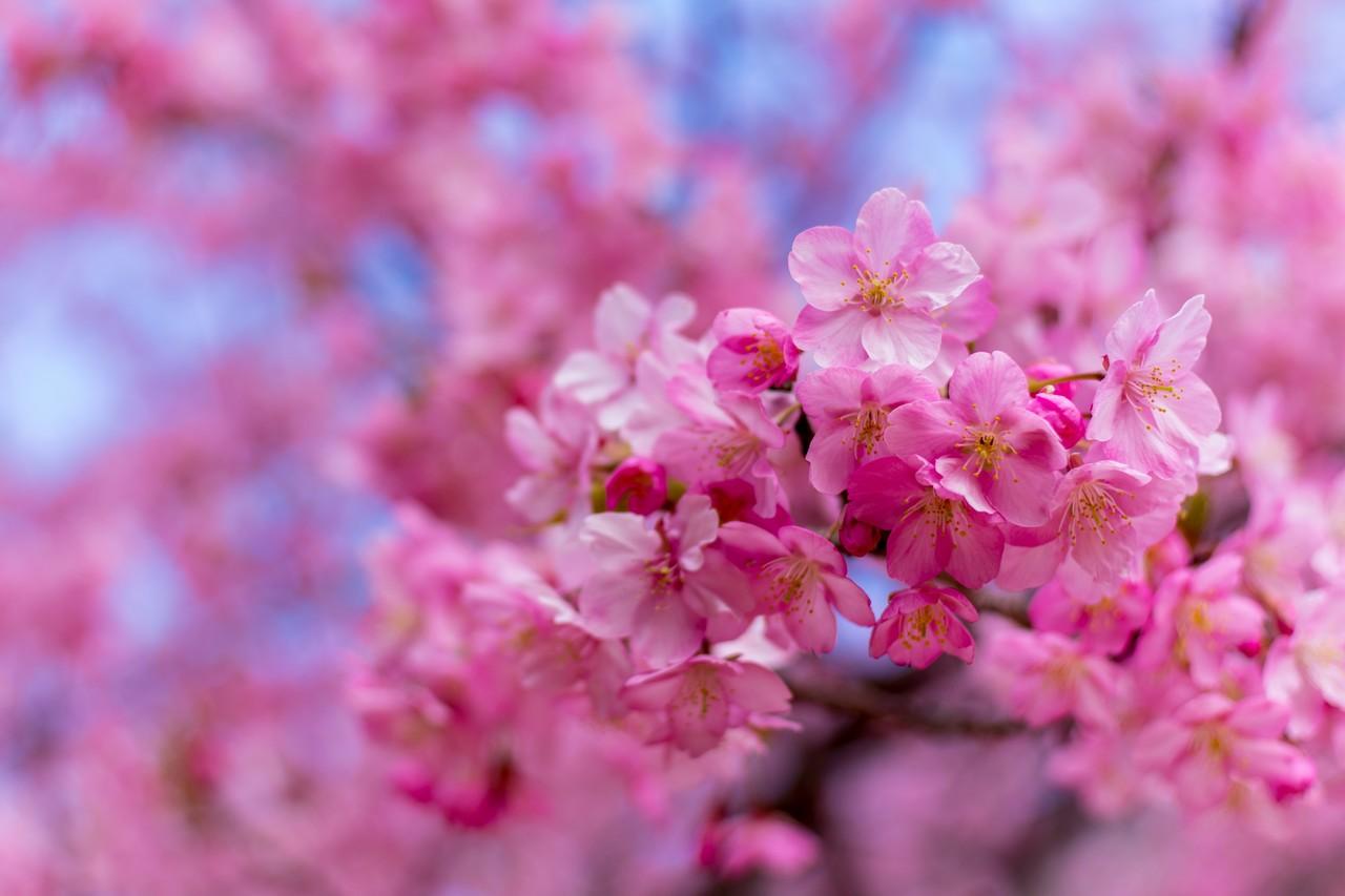 川津桜の花びら
