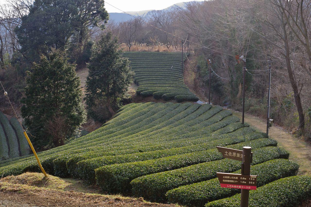 寄集落の茶畑