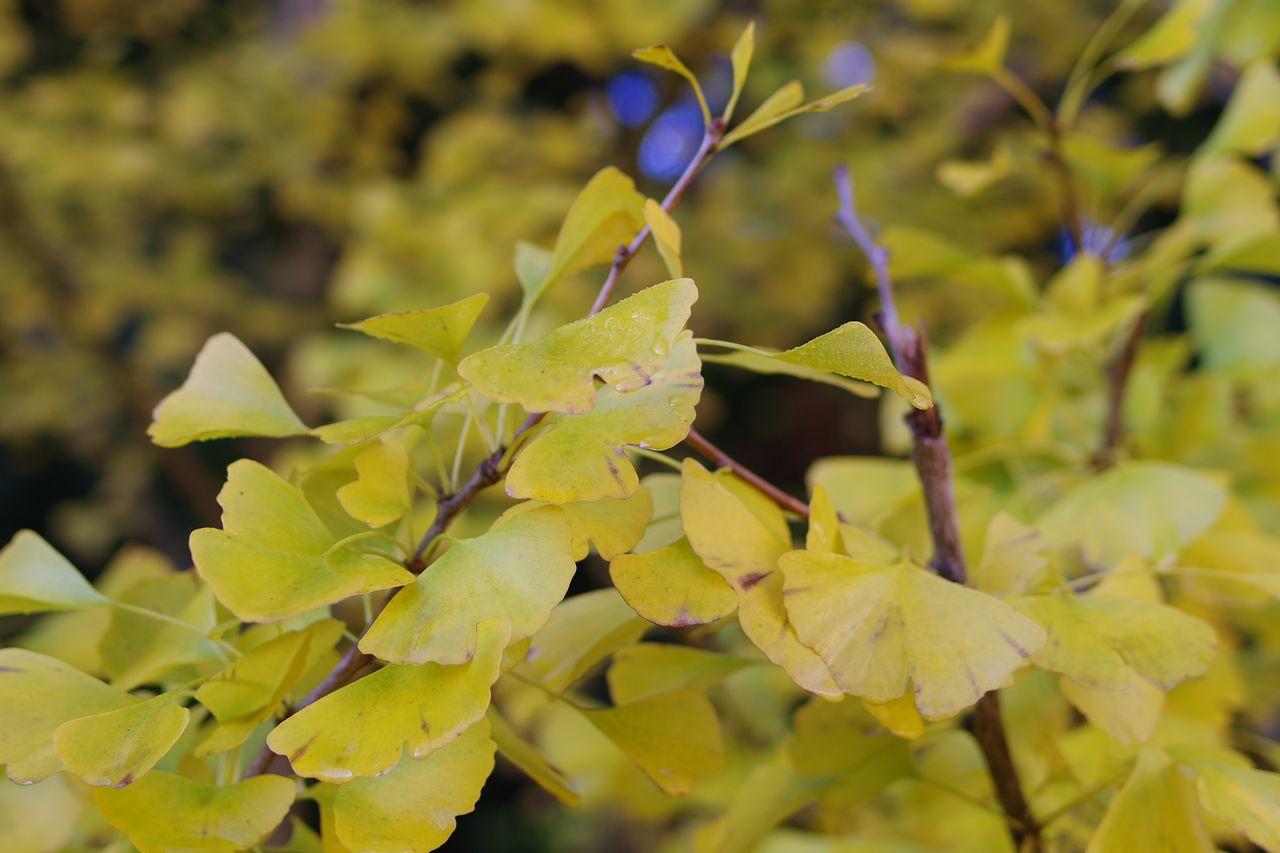朝露に濡れたイチョウの葉