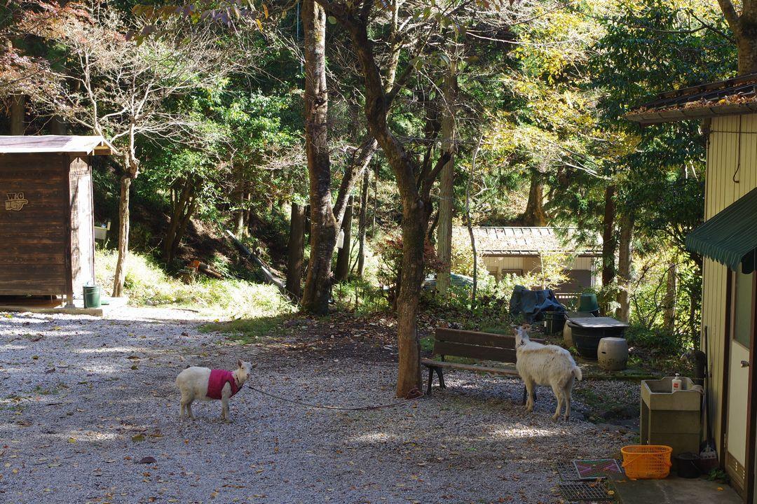 武甲山 LOGMOGのヤギ