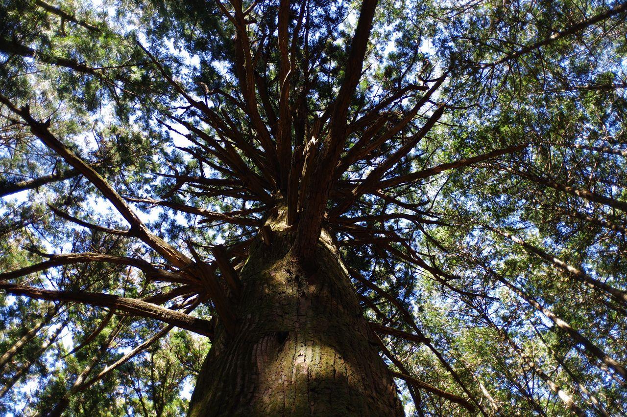 武甲山 大杉広場の杉