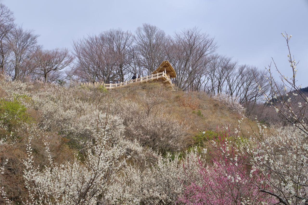 筑波山の梅園