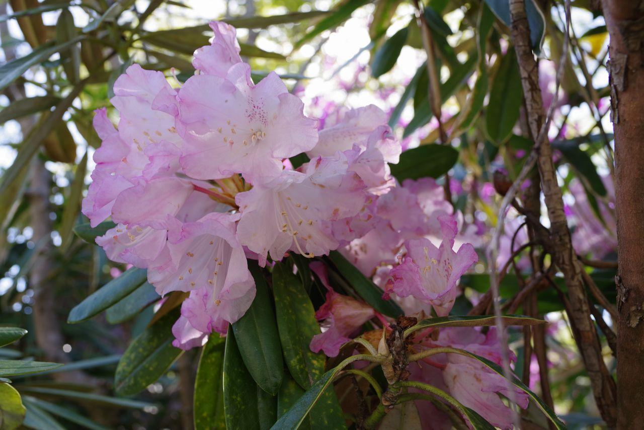 石楠花の花