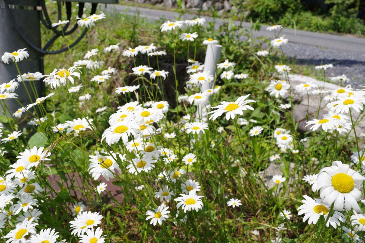 道端に咲くマーガレットの花