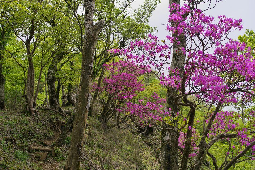 ミツバツツジに囲まれた登山道の風景