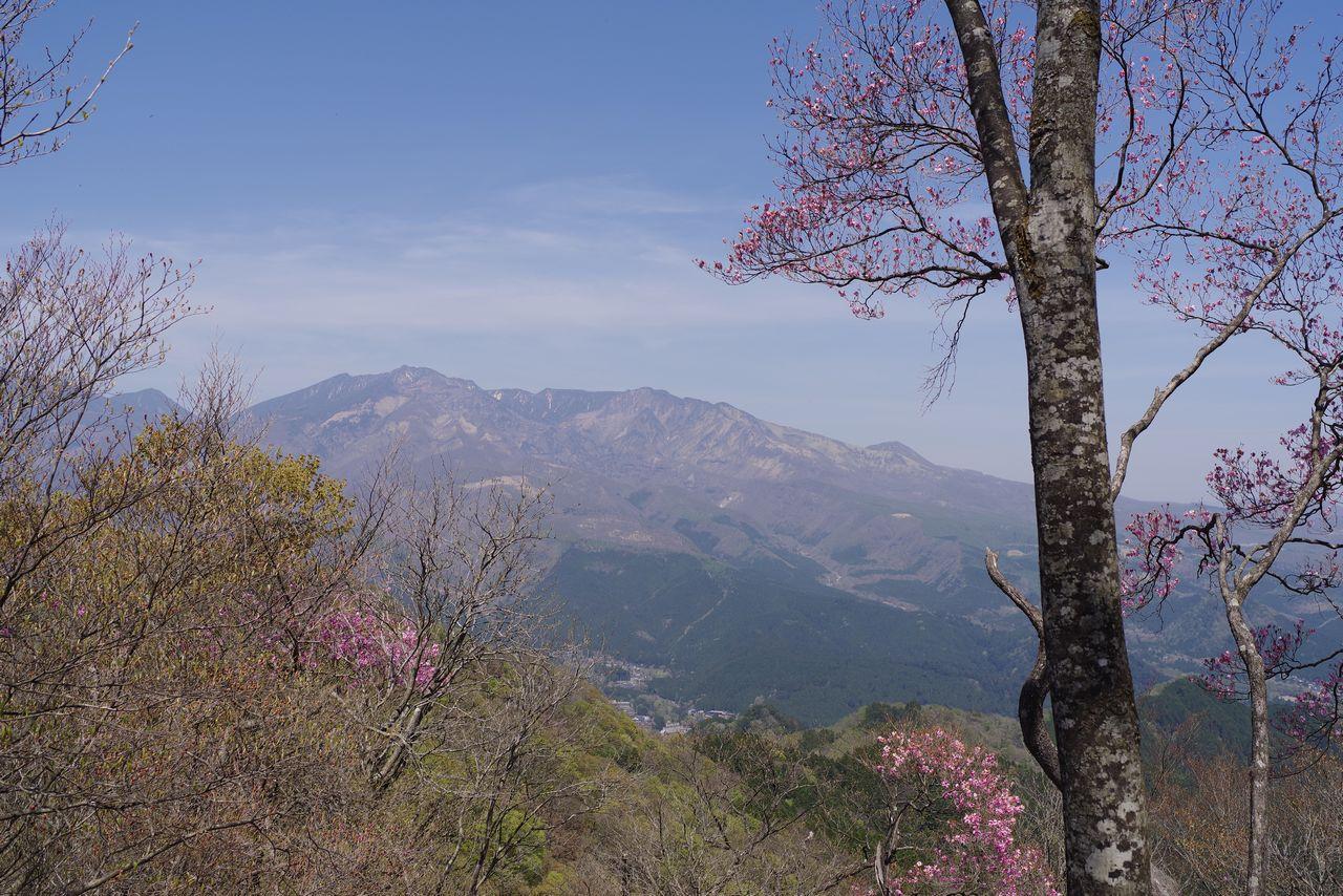 鳴虫山山頂のアカヤシオ
