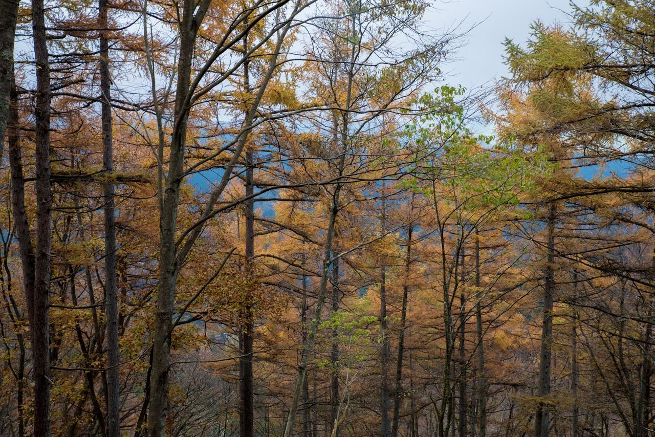 笹尾根縦走路のカラマツ林