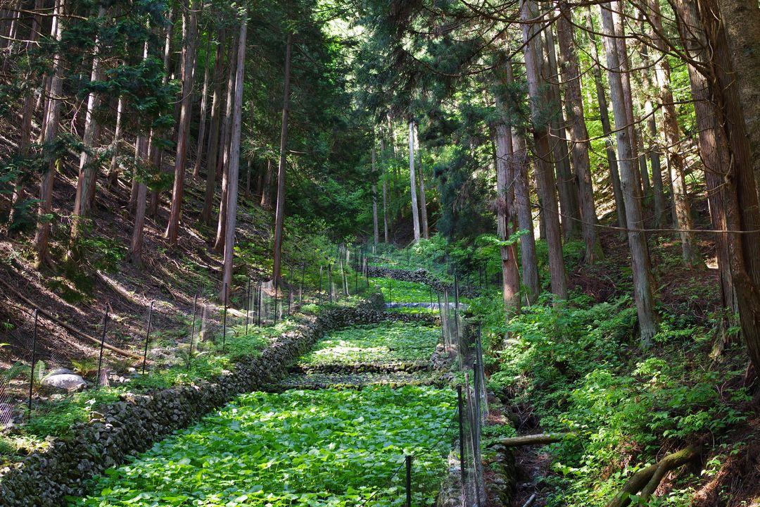小菅村のワサビ田