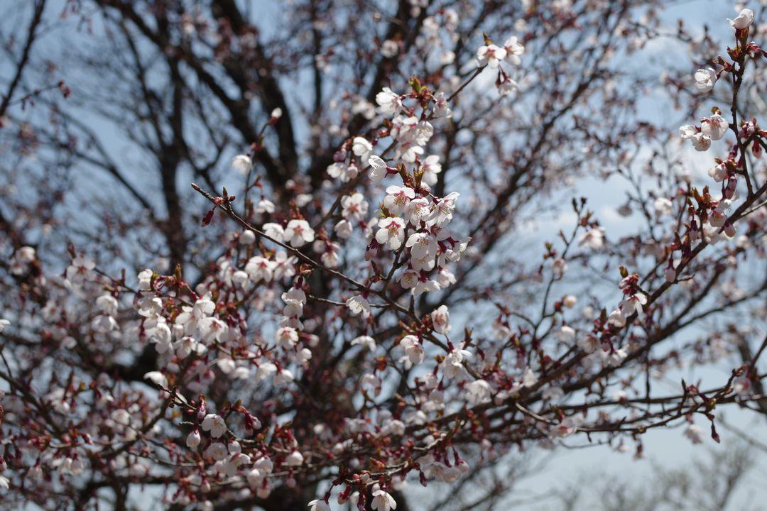 鍋割り山のマメ桜