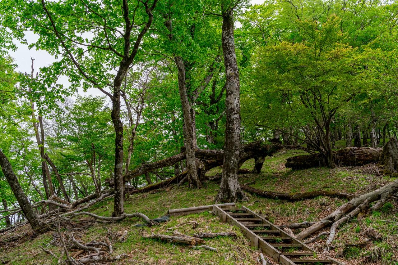 西丹沢のブナ林