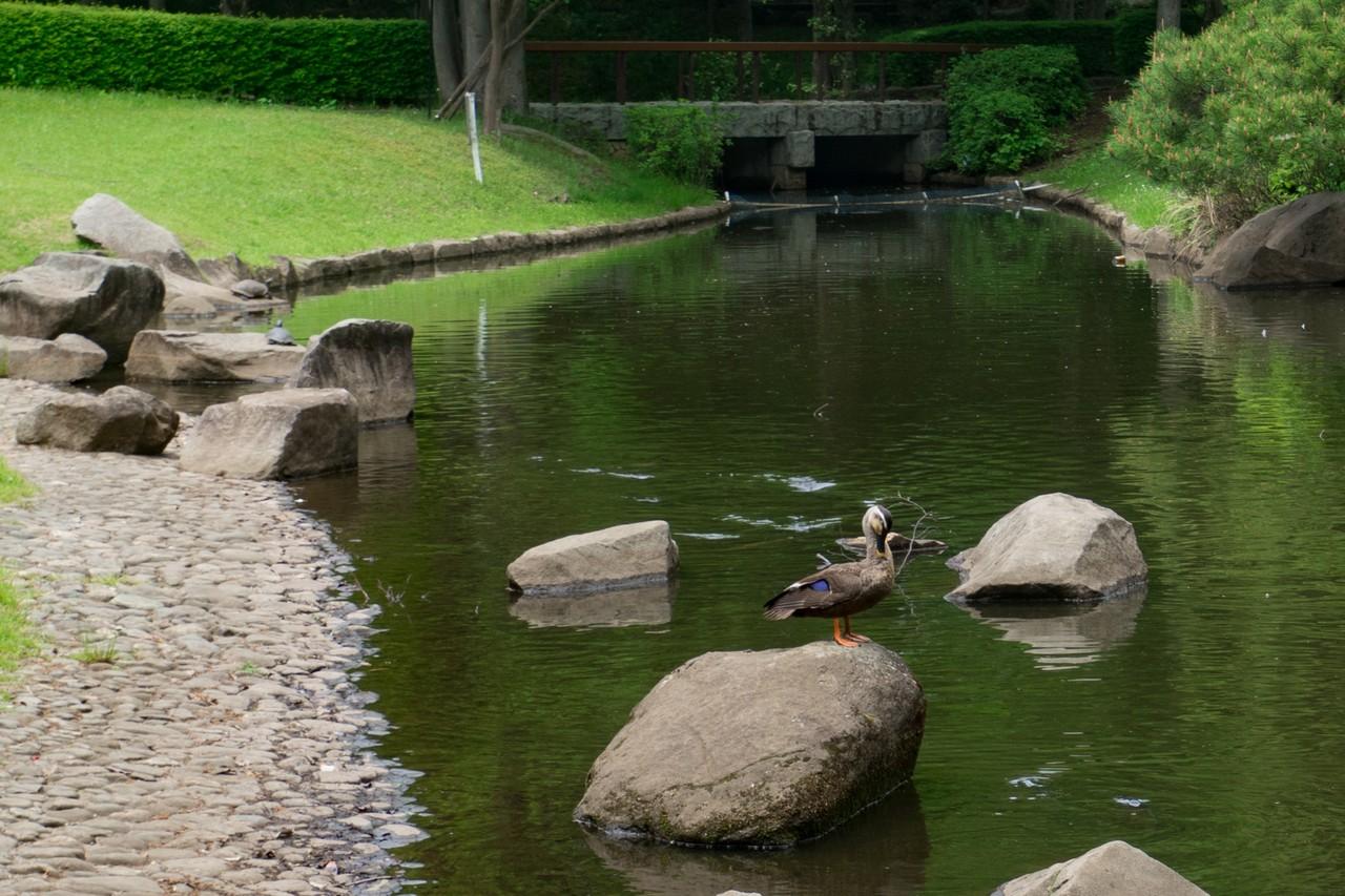 本杉公園の池に佇むカルガモ