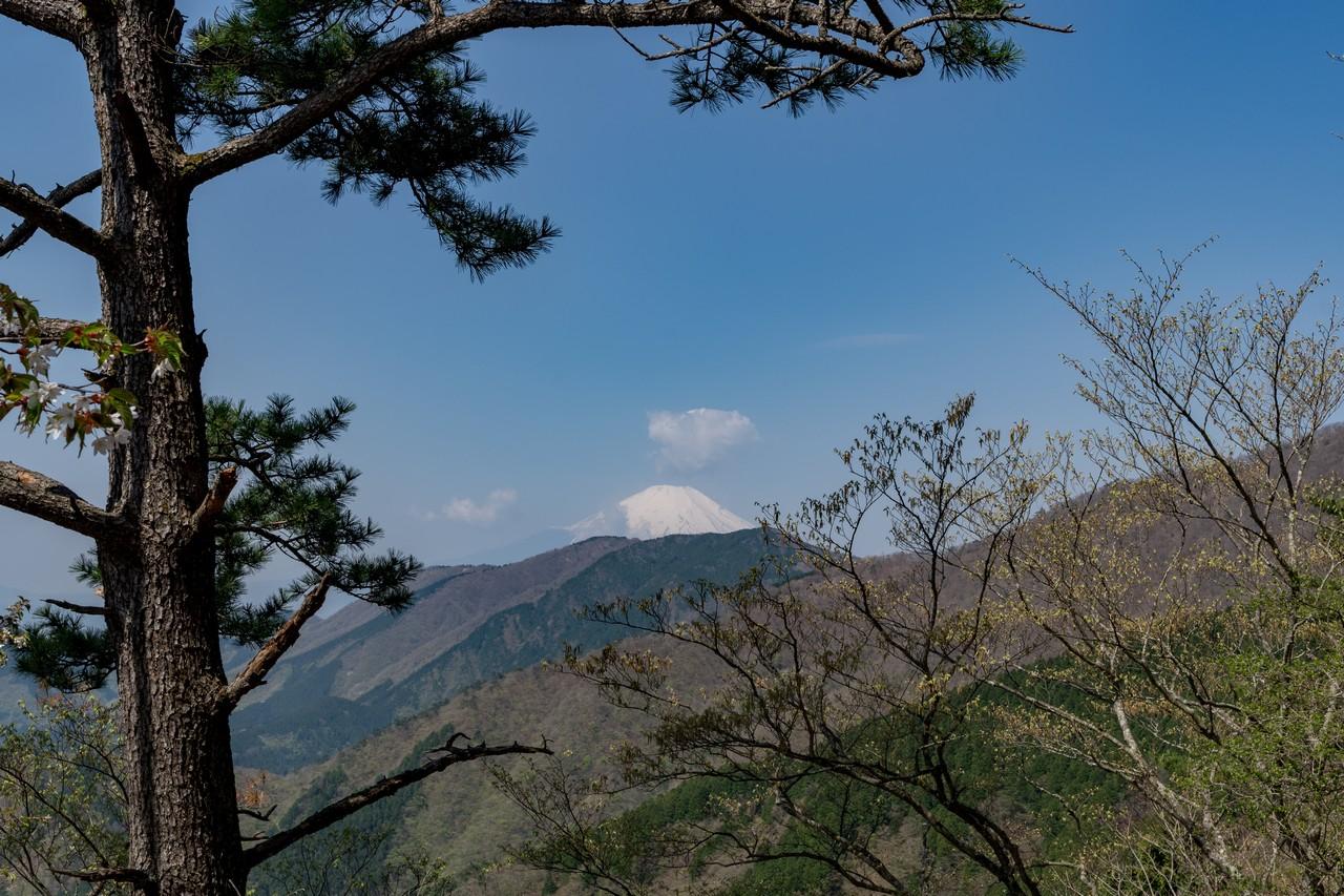 大倉尾根の松と富士