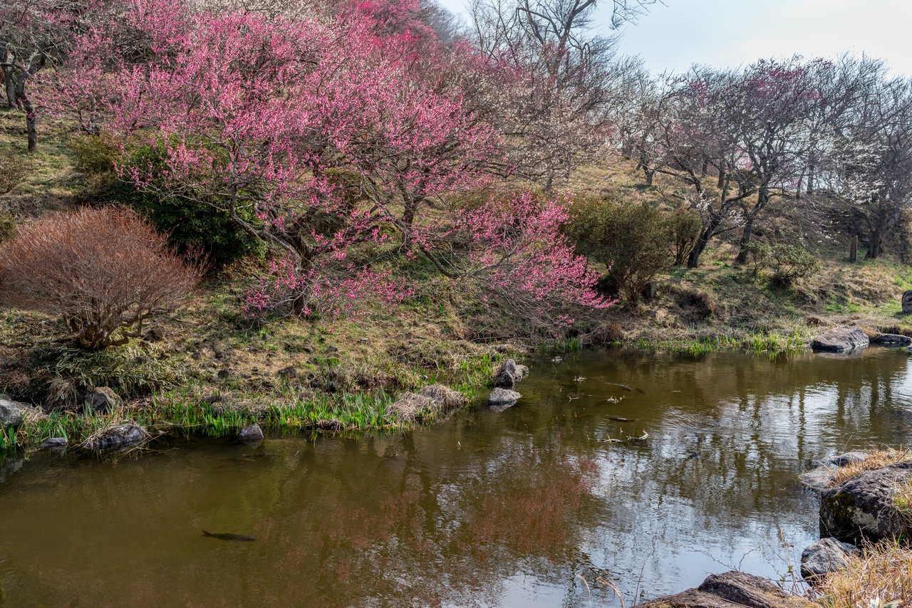 湯河原梅園の池
