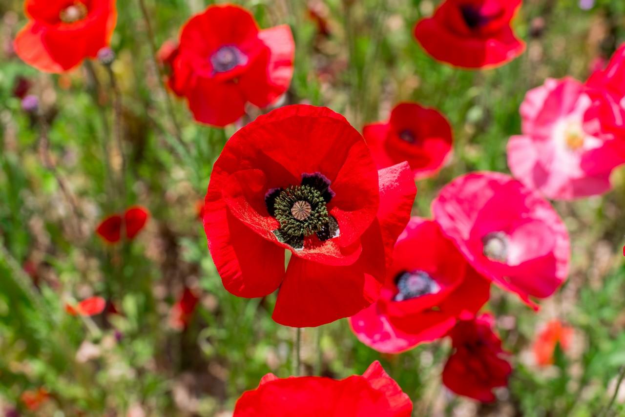 赤いシャーレーポピーの花