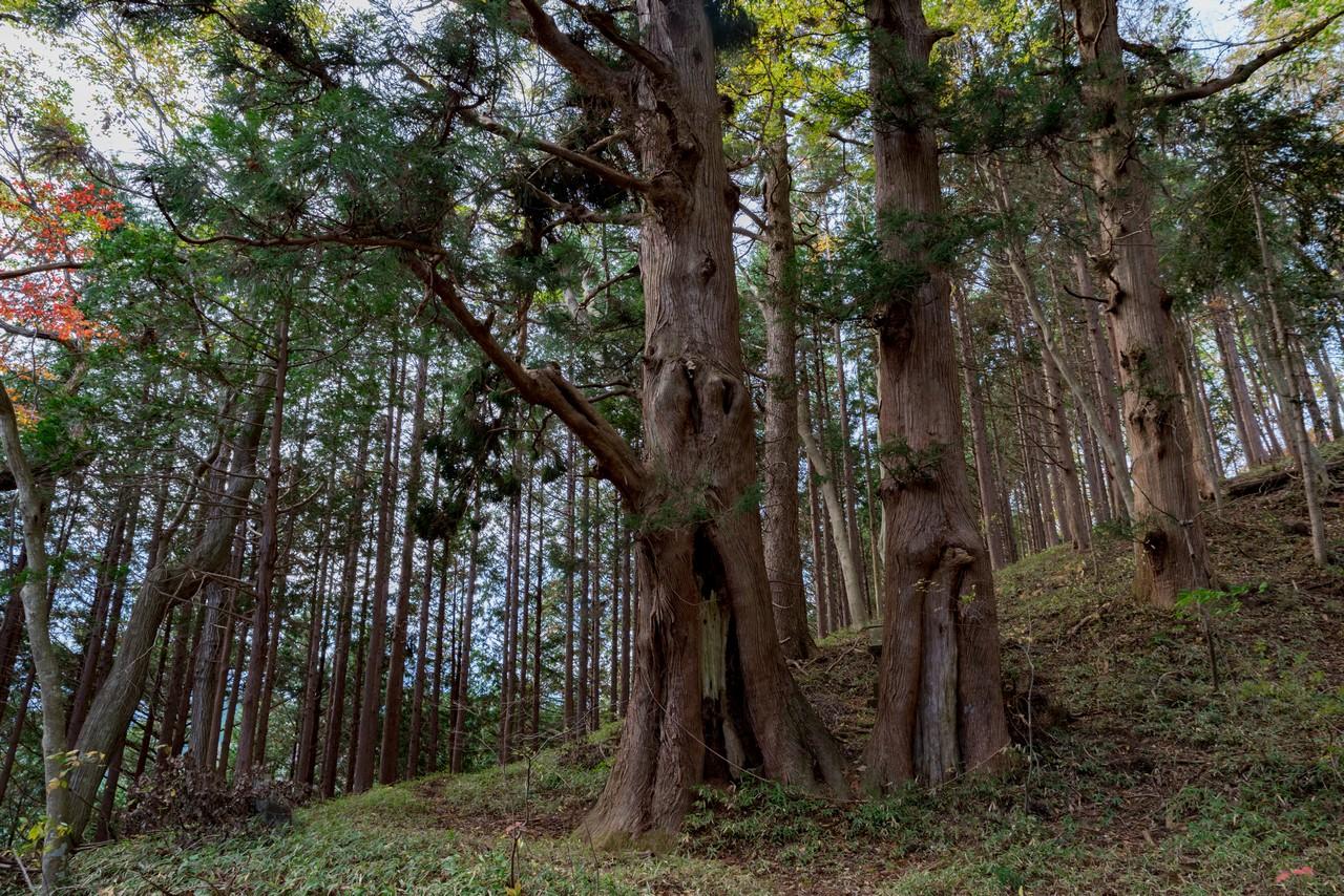 笹尾根 浅間峠の杉