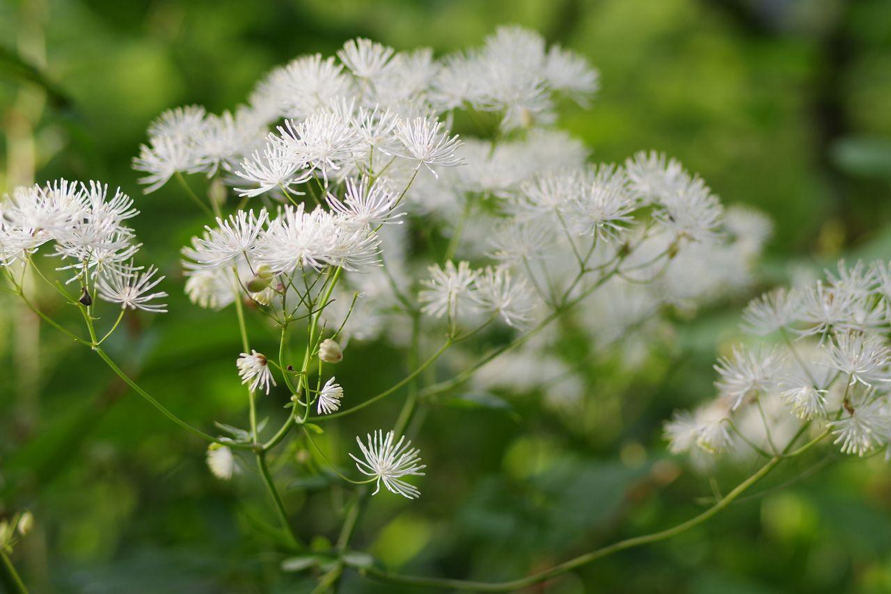 カラマツソウの花