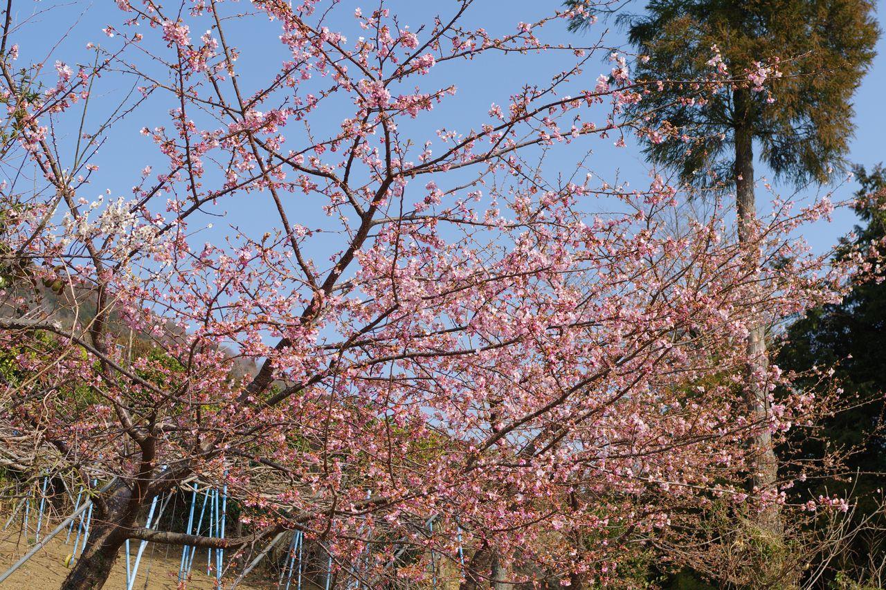 1松田山の河津桜