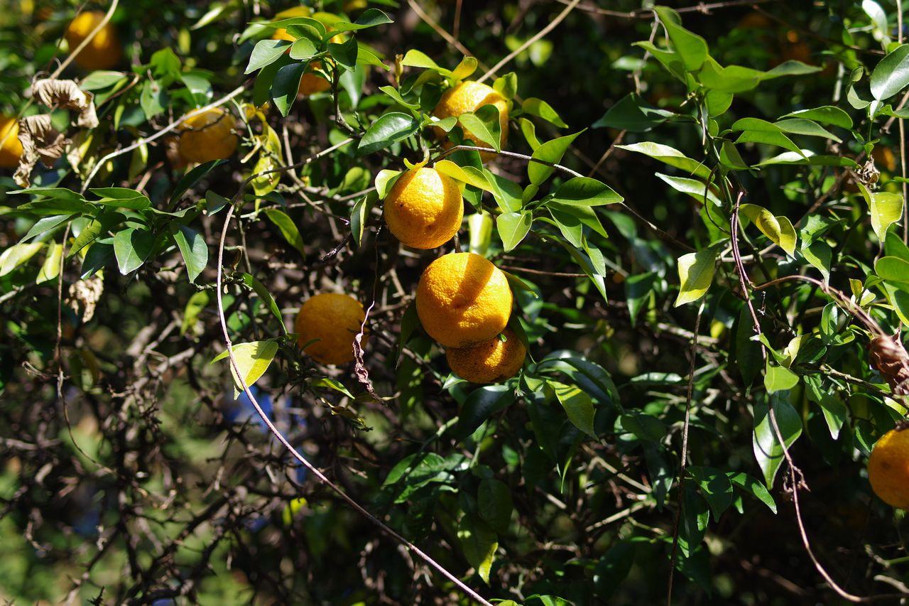 実の生った柚子の木