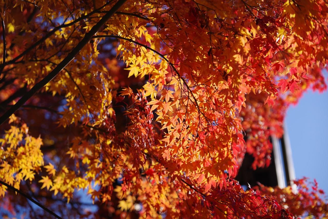 都民の森の紅葉