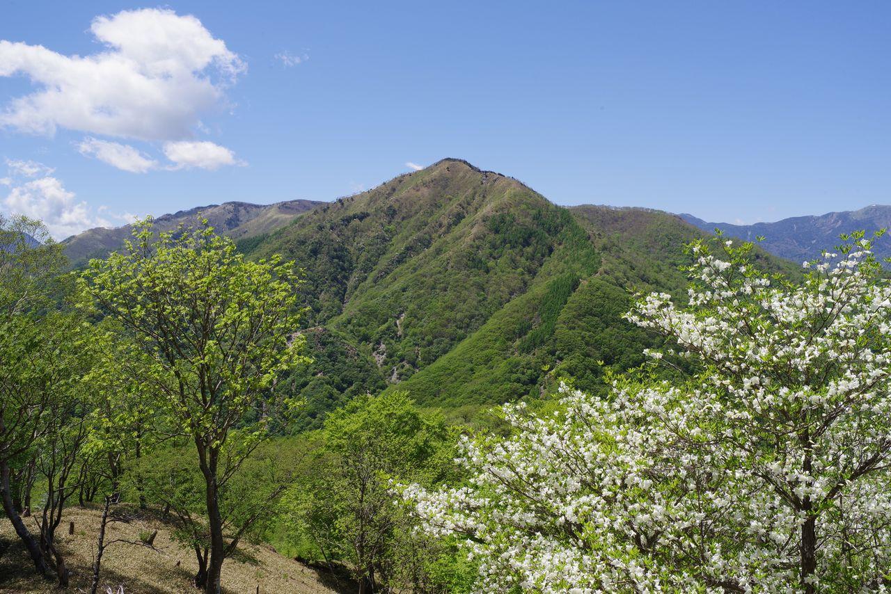 シロヤシオと社山