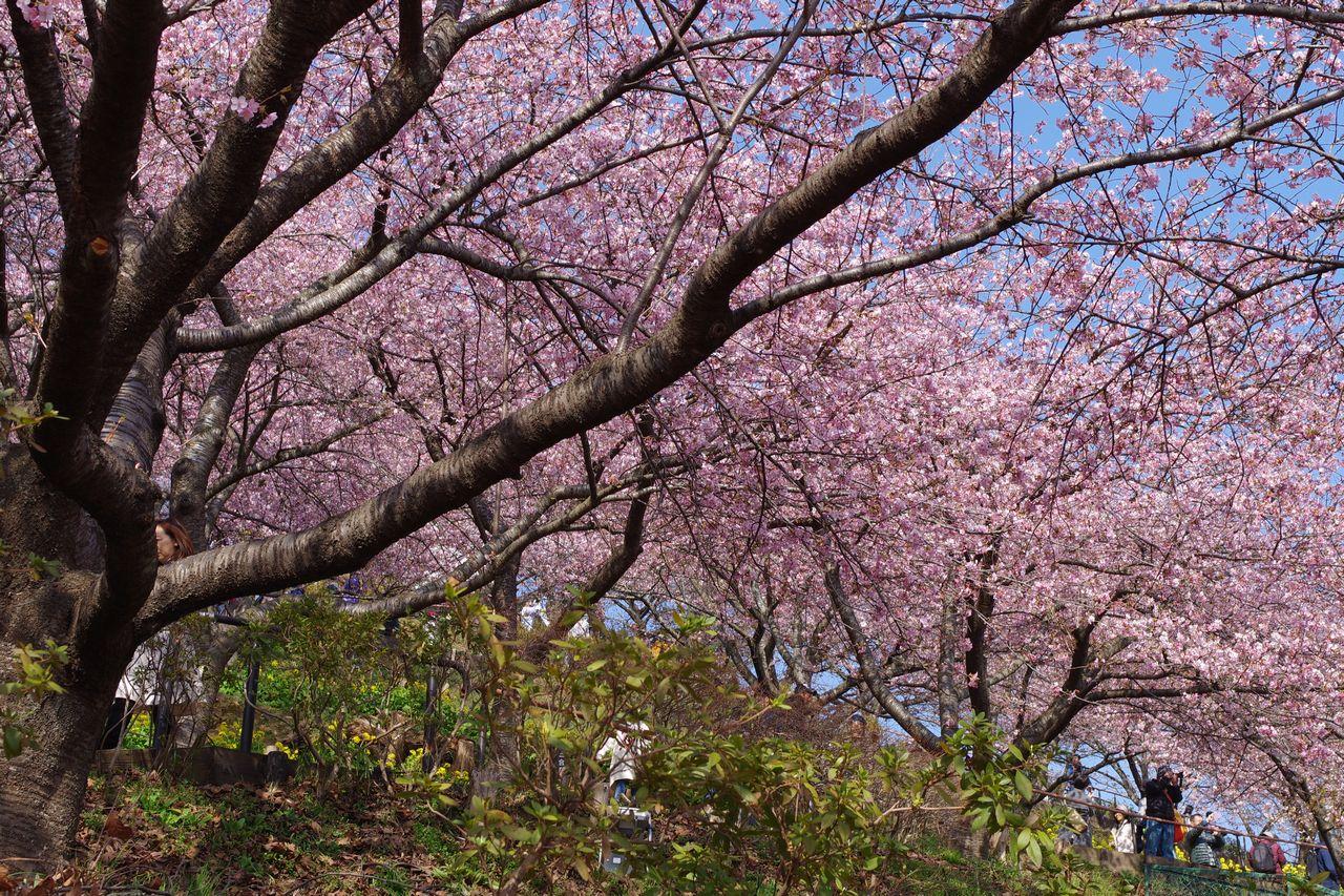 松田山ハーブ園の河津桜