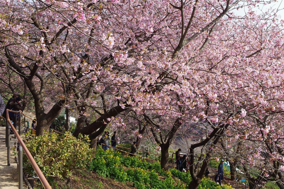 丸だ山の河津桜