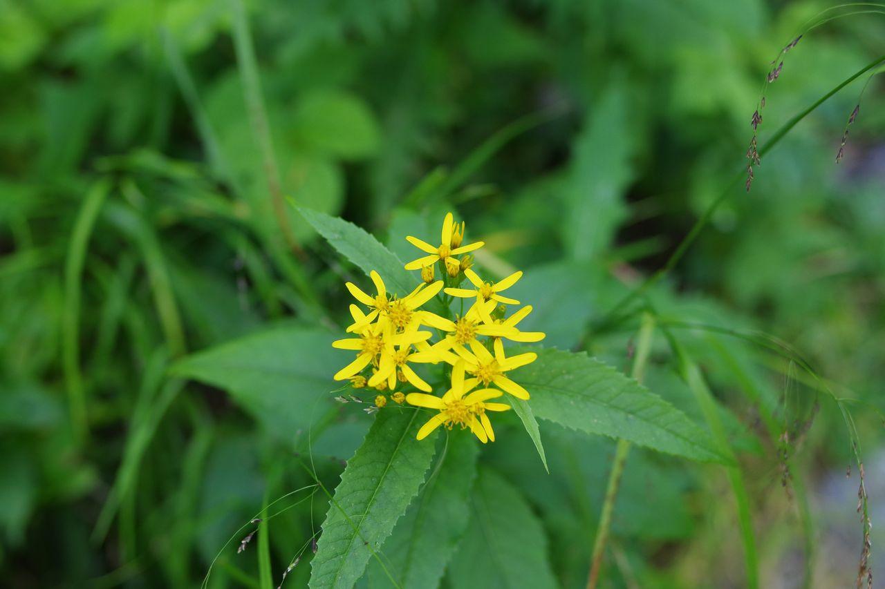 岳沢コースに咲く黄色い花