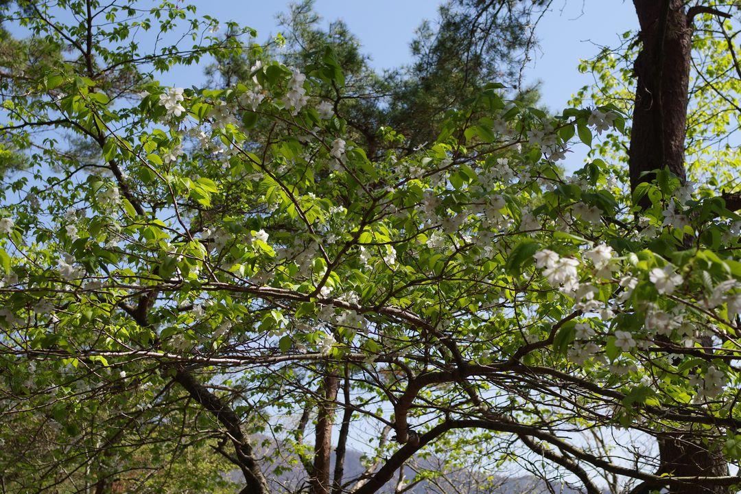 大倉尾根の山桜