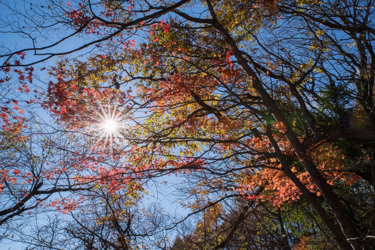 陽の光を浴びる紅葉
