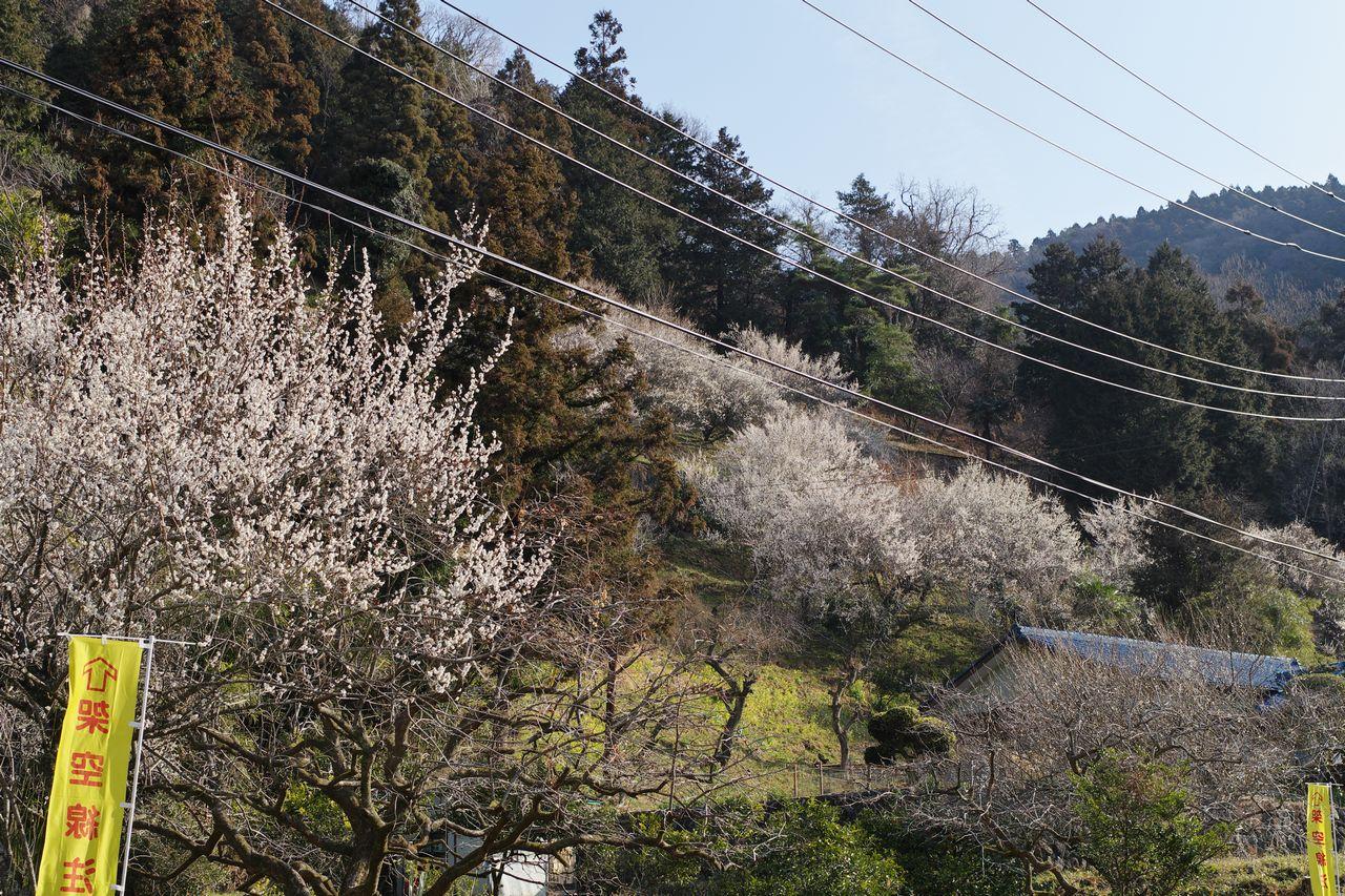 高松山の梅